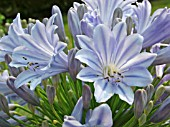 AGAPANTHUS GLENHAVEN (AFRICAN LILY)
