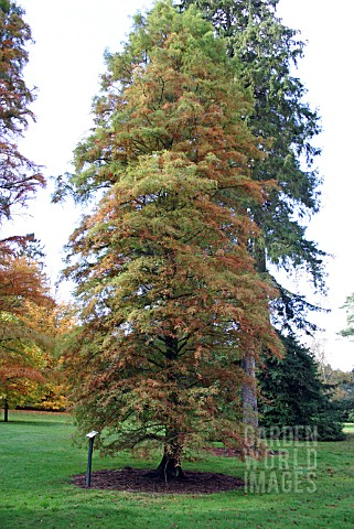 TAXODIUM_DISTICHUM_SWAMP_CYPRESS