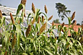 SORGHUM BICOLOR BLACK AMBER CANE TALL GRASS LIKE WITH LONG BROAD LEAVES BEARING LARGE SEED PRODUCING HEADS