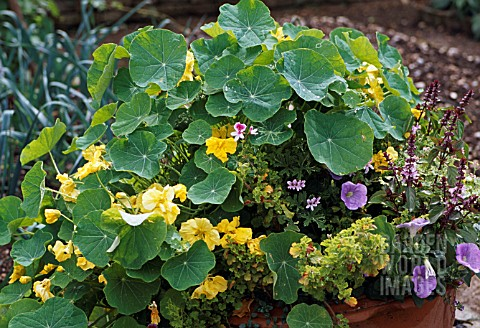 TROPAEOLUM_MAJUS_AND_HERBS_IN_CONTAINER
