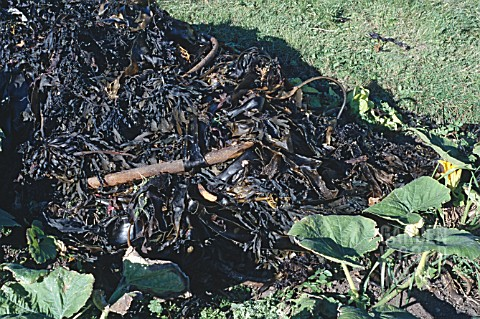 SEAWEED_COMPOST__NUTRIENT_RICH