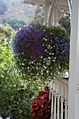 HANGING BASKET WITH LOBELIA AND BACOPA,  ON FRONT PORCH,  SAN LUIS OBISPO,  CALIFORNIA