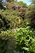 LARGE POND WITH SKUNK CABBAGE AND TREE FERNS,  LOST GARDENS OF HELIGAN,  CORNWALL