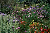 VERBENA BONARIENSIS,  PINK TINY FLOWERS ON LONG STEMS. AGAPANTHUS AND CROCOSMIA WITH GRASSES INBORDER.