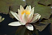 NYMPHAEA,  PAUL HARIOT,  WATER LILY,  MID SUMMER