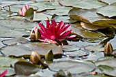 NYMPHAEA,  ESCARBOUCLE,  WATER LILY,  MID SUMMER,  BURNBY HALL GARDENS,  POCKLINGTON,  EAST YORKSHIRE