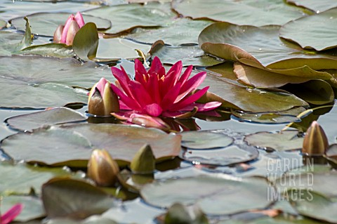 NYMPHAEA__ESCARBOUCLE__WATER_LILY__MID_SUMMER__BURNBY_HALL_GARDENS__POCKLINGTON__EAST_YORKSHIRE_____