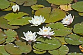 NYMPHAEA,  NUPHAR ADVENA,  WATER LILY,  MID SUMMER,  BURNBY HALL GARDENS,  POCKLINGTON,  EAST YORKSHIRE