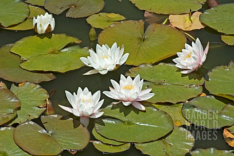 NYMPHAEA__NUPHAR_ADVENA__WATER_LILY__MID_SUMMER__BURNBY_HALL_GARDENS__POCKLINGTON__EAST_YORKSHIRE___