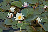 NYMPHAEA,  MARLIACEA ROSEA,  WATER LILY,  MID SUMMER,  BURNBY HALL GARDENS,  POCKLINGTON,  EAST YORKSHIRE