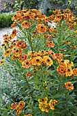 HELENIUM,  MOERHEIM BEAUTY