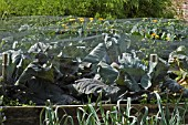 CABBAGES PROTECTED BY NETTING SCAMPSTON WALLED GARDEN