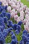 HYACINTHUS ORIENTALIS DELFT BLUE AND LADY DERBY