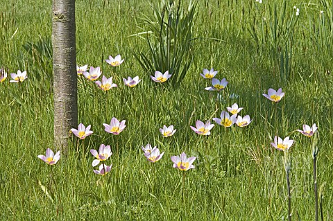 TULIPA_SAXATILIS_NATURALISED_IN_GRASS_MEADOW