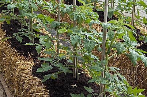 growing plants in hay bales growing plants in hay bales RC2733- TOMATO PLANTS GROWING IN STRAW ...