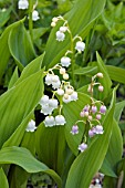 CONVALLARIA MAJALIS,  ROSEA,  LILY OF THE VALLEY