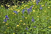 BLUEBELLS AND BUTTERCUPS