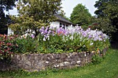 COTTAGE GARDEN BORDER PLANTED WITH HESPERIS MATRONALIS AND ICELANDIC POPPIES