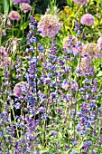 NEPETA RACEMOSA AND ALLIUMS