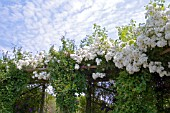 ROSA RAMBLING RECTOR ON PERGOLA