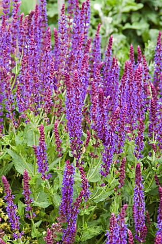 SALVIA_NEMOROSA_EAST_FRIESLAND
