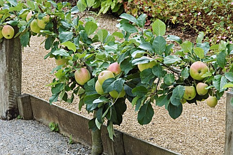 STEPOVER_APPLE_VARIETY_CLAYGATE_PEARMAIN