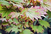 ACER JAPONICUM LEAVES AND WINGED SEEDS IN AUTUMN