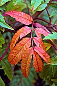 LEAF OF RHUS X PULVINATA RED AUTUMN LACE