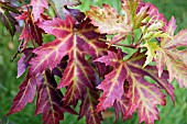 ACER SACCHARINUM PYRAMIDALE LEAVES IN AUTUMN