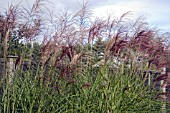 MISCANTHUS SINENSIS GROSSE FONTAINE