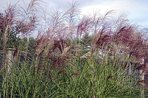MISCANTHUS_SINENSIS_GROSSE_FONTAINE