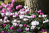 CYCLAMEN COUM AROUND BASE OF TREE