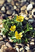 ERANTHIS HYEMELIS GROWING IN GRAVEL