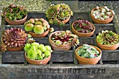 POTS OF MIXED SEMPERVIVUMS IN A WOODEN CRATE