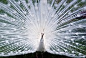 WHITE PEACOCK DISPLAYING FEATHERS