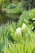 WATERSIDE PLANTS - LYSICHITON AND IRIS PSEUDACORUS