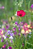 WILD DIANTHUS AND LINARIA IN FLOWER MEADOW