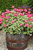 PELARGONIUMS PLANTED IN A WOODEN BARREL