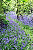 BLUEBELL WOOD IN SPRINGTIME