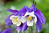 AQUILEGIA MAGIC BLUE