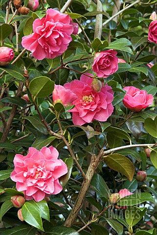 CAMELLIA_X_WILLIAMSII_WATER_LILY
