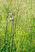 LILIUM MARTAGON GROWING AMONGST DESCHAMPSIA CEPITOSA GOLDTAU