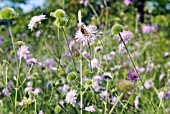 SCABIOSA COLUMBARIA IN A MEADOW
