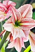 AMARYLLIS  NAUGHTY GIRL