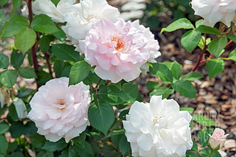ROSA_A_WHITER_SHADE_OF_PALE