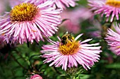 BEE ON ASTER BARRS PINK