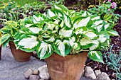 HOSTA FIRE & iCE IN AN EARTHENWARE POT