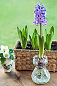 HYACINTH GROWING IN WATER IN A GLASS BULB VASE