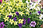 NICOTIANA LIME GREEN PLANTED WITH VIOLA MARTIN AND VERBENA ROYAL PURPLE AND TWISTER BLUE