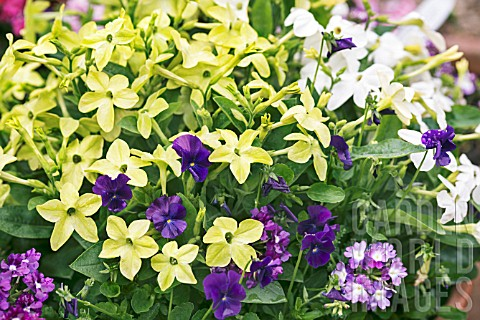 NICOTIANA_LIME_GREEN_PLANTED_WITH_VIOLA_MARTIN_AND_VERBENA_ROYAL_PURPLE_AND_TWISTER_BLUE